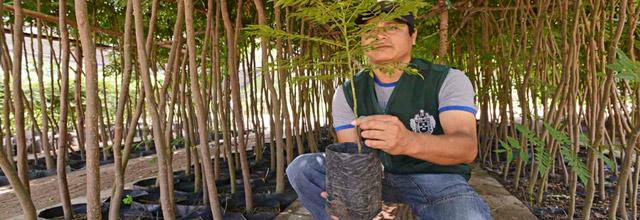 Plantan árboles en Chosica